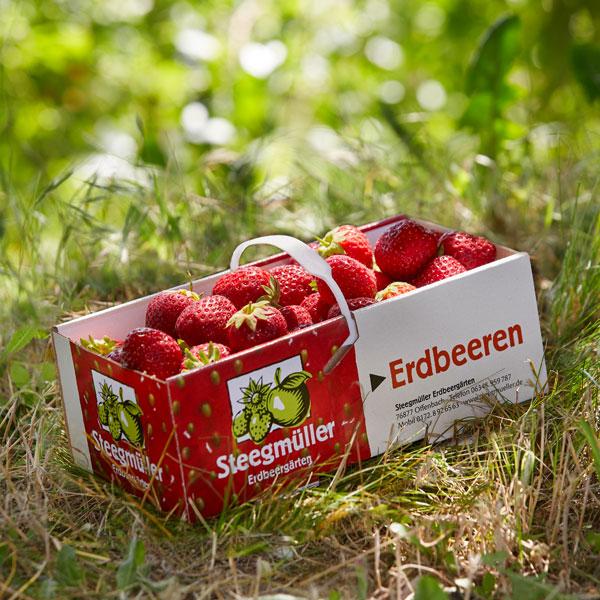 Erdbeeren selbst pflücken - Steegmüller
